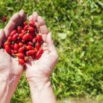 Hagebuttenpulver - Pflanzliche Hilfe für Senioren