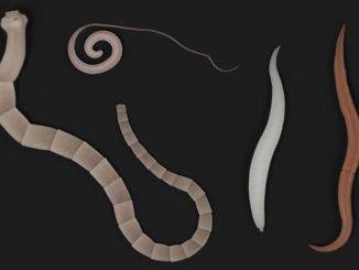 Würmer sind Parasitzen im Körper eines Menschen